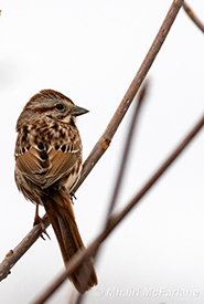 One of my little song sparrow friends who was singing his heart out (Photo by Mhairi-McFarlane/NCC).