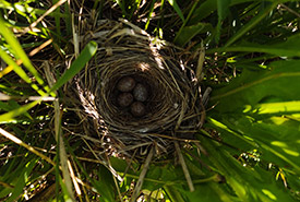 Sparrow nest at Lac du Bois (Photo by NCC)