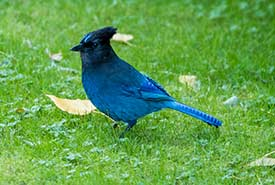 Steller's jay (Photo by John D. Reynolds/iNaturalist)