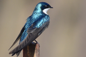 Tree swallow (Photo by Hugh Vandervoort)
