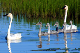 Trumpeter swan family (Photo by Karol Dabbs)