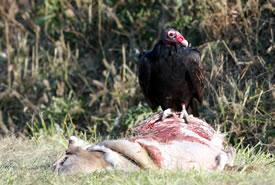 Turkey vulture (Photo by Bill Hubick)