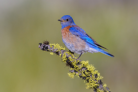 Western bluebird (Photo by Tim Zurowski)
