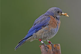 Western Bluebird (Photo by Bill Pennell)