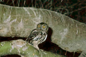 Western screech-owl (Photo by US Fish & Wildlife Service)