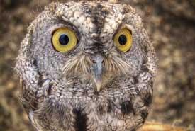 Western screech owl (Photo by Josh Shaw)