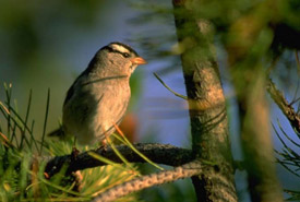 White crowned sparrow (Photo by Karol Dabbs)