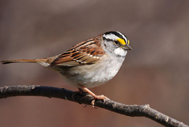 White-throated sparrow (Photo by Wikimedia Commons)