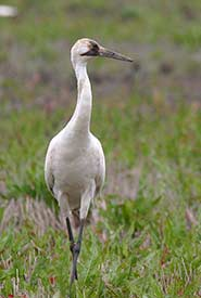Whooping crane (Photo by Christian Artuso, iNaturalist)