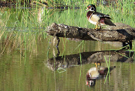 Wood duck at Chase Woods Nature Preserve (Photo by Ren Ferguson)