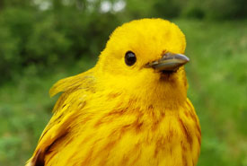 Yellow warbler (Photo by NCC)