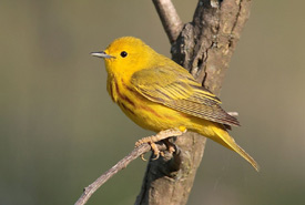 Yellow warbler (Photo by Wikimedia Commons)
