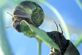 Ram's horn snail (Photo by the United States Department of Agriculture/Wikimedia Commons)