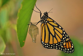 Monarch butterfly (Photo by André Sarrazin)