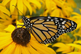 Monarch butterfly (Photo by A. Dabydeen)