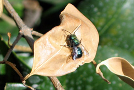 Blue orchard mason bee (Photo by Robert Engelhardt)