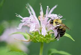 Bumble bee on bergamot (Photo by Mhairi Mcfarlane/NCC staff)
