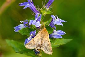 Corn earworm moth on great lobelia, Southern Norfolk Sand Plain, ON (Photo by Mhairi McFarlane)