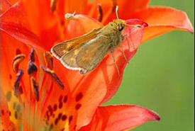 Dakota skipper (Photo by Phil Delphey/Wikimedia Commons)