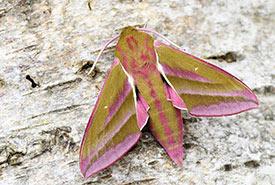 Elephant hawk moth (Photo by Allthesmallthings, CC-BY-NC)