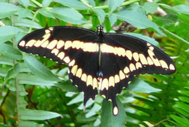 Giant swallowtail (Photo by Cary Bass, Wikimedia Commons)