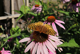 Great spangled fritillary butterfly (Photo by Monica Seidel)