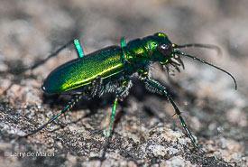 Laurentian tiger beetle (Cicindela sexguttata denikei) (Photo by Larry de March)