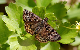Male mottled duskywing (photo by Jessica Linton)