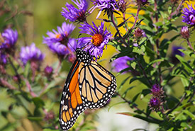 Monarch (Photo by Mary Gartshore)