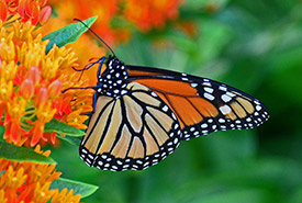 Monarch butterfly (Photo by Dave Nelson)