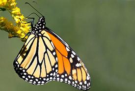 Le voyage migratoire du monarque peut atteindre jusqu'à 5000 km et durer jusqu'à deux mois. Les papillons qui naissent au début de l'été vivent de 4 à 6 semaines, alors que ceux qui naissent vers la fin de l'été, soit ceux qui entreprennent le grand voyage, vivent entre 6 et 7 mois. (Photo de Alexis Delray)