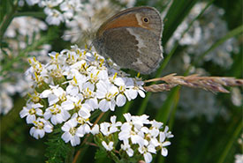 Maritime ringlet (Photo by NCC)