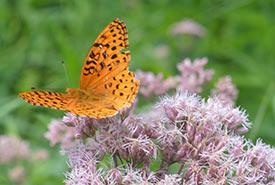 Aphrodite fritillary on milkweed (Photo by NCC)