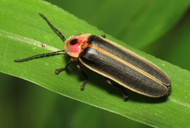 Common eastern firefly (Photo by Katja Schulz CC BY-NC)