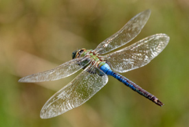 Common green darner (Photo by Nancy Norman, CC BY-NC 4.0)