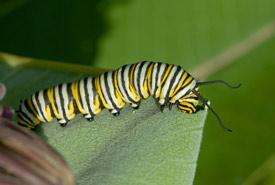 Monarch caterpillar (Photo by Maxim Larrivée)