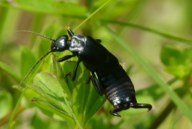 Adult earwig (Photo by L. Shyamal/Wikimedia Commons)