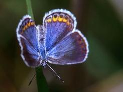 Mélissa bleu, une espèce disparue du Canada (Photo de J. et K. Hollingsworth, avec l'aimable autorisation du USFWS)