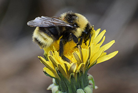 Gypsy cuckoo bumble bee (Photo from iNaturalist)