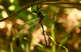 Hine's emerald dragonfly at Minesing Wetlands, ON (Photo by Chris Evans)