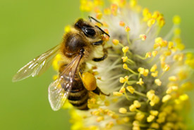 Honey bee (Photo from Bees Matter)