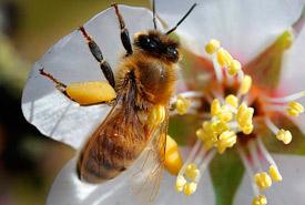 Honey bee (Photo by Michael McCollum/Canadian Press)