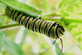 Monarch caterpillar (Photo by Rick Beaver)