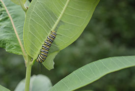 A monarch larva on milkweed (Photo by NCC)