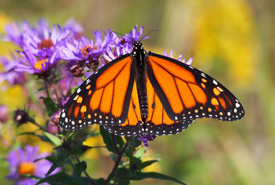 Monarch (Photo by NCC)