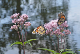 A pair of monarchs resting on spotted joe-pyweed (Photo by NCC)