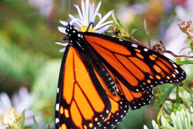 Monarch butterfly on aster (Photo by June Swift)