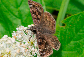 Mottled duskywing (Photo by Wildlife Preservation Canada)