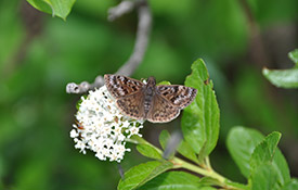 Mottled duskywing on New Jersey tea (photo by Jessica Linton)