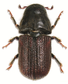 Mountain pine beetle (Photo by Wikimedia Commons, Steve Clarkson)